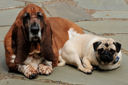 casting-basset-hounds-and-pugs-in-new-mexico